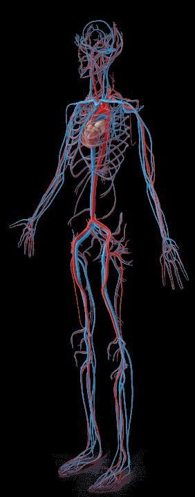 female-circulatory-system
