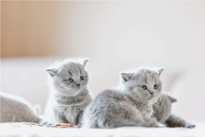 litter-of-kittens-in-home-british-shorthairs