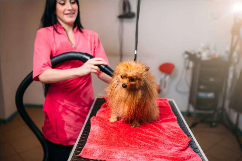 female-pet-groomer-dry-dog-fur-with-a-hair-dryer