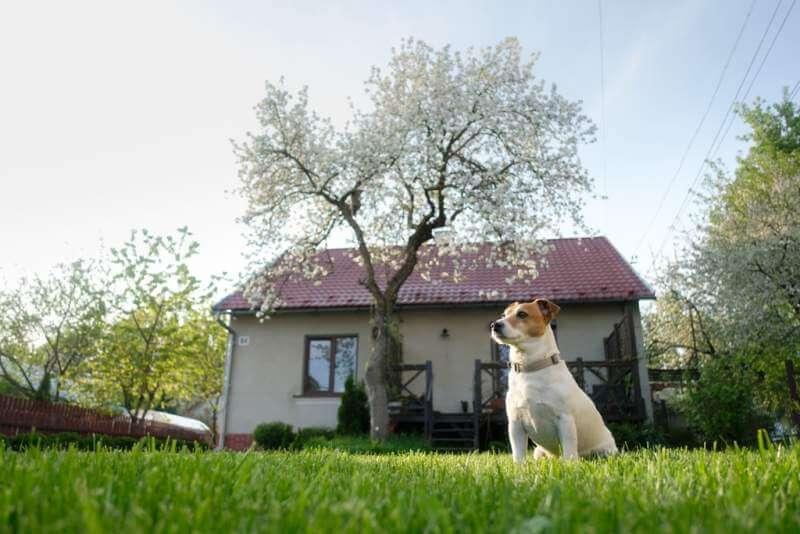 jack-russel-terrier-on-lawn-near-house