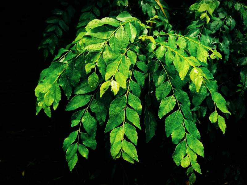 wet-curry-leaves-rainy-season