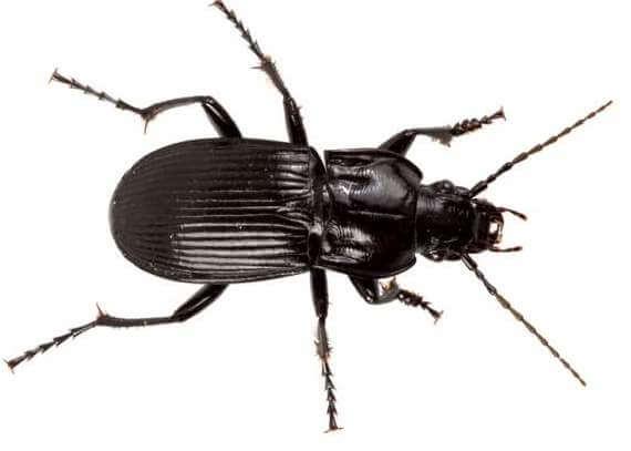 beetle-abax-parallelus