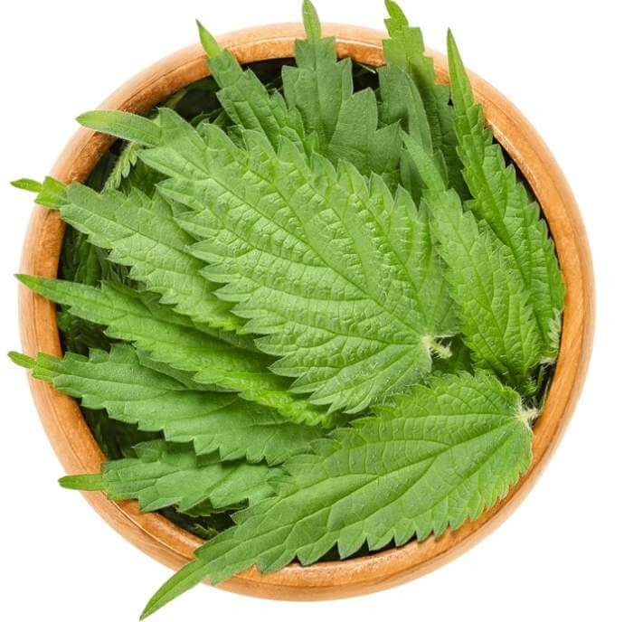 common-nettle-leaves-in-wooden-bowl-over-white-