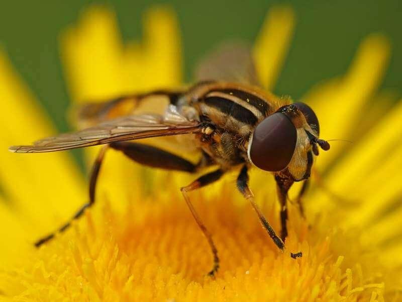 large-tiger-hoverfly-helophilus-trivittatus