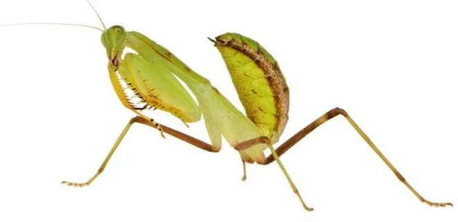 young-praying-mantis-sphodromantis-lineola
