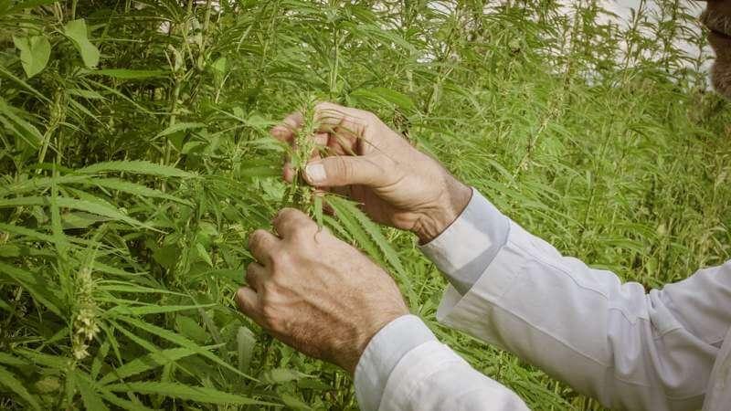 scientist-checking-hemp-plants-in-the-field