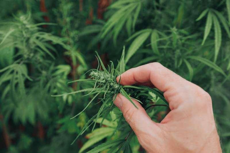 agronomist-examining-industrial-hemp-plant-flower