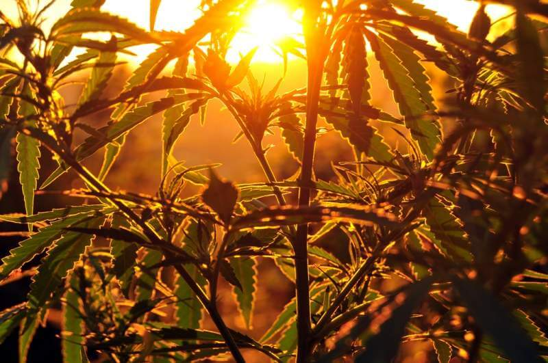 silhouette-of-cannabis-plant-at-sunrise