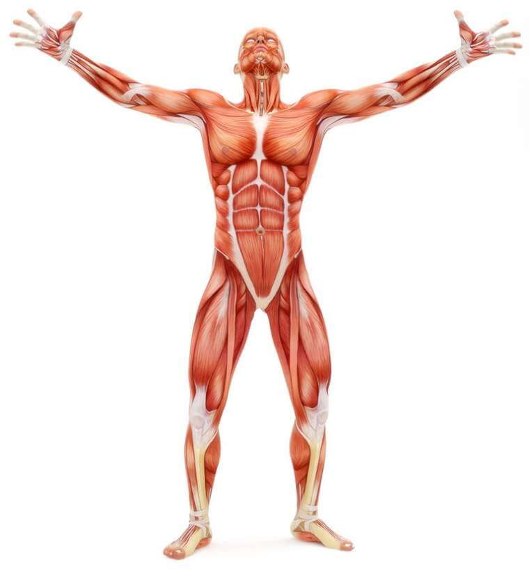 male-musculoskeletal-system-looking-upward